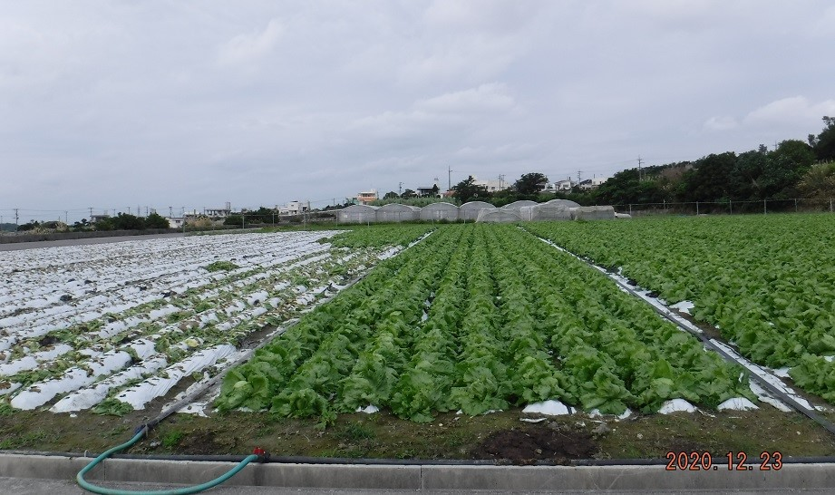 沖縄県(冬レタス)