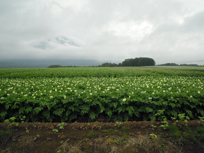 北海道(ばれいしょ)