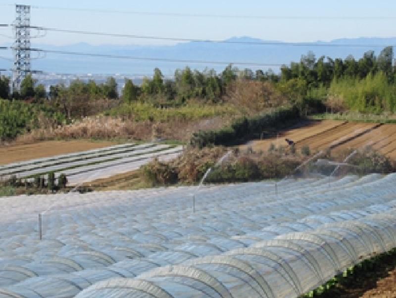 静岡県(冬レタス(三島))